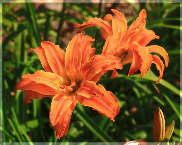 В Никитском ботаническом саду распустились «Цветы радости» (ФОТО), фото-1