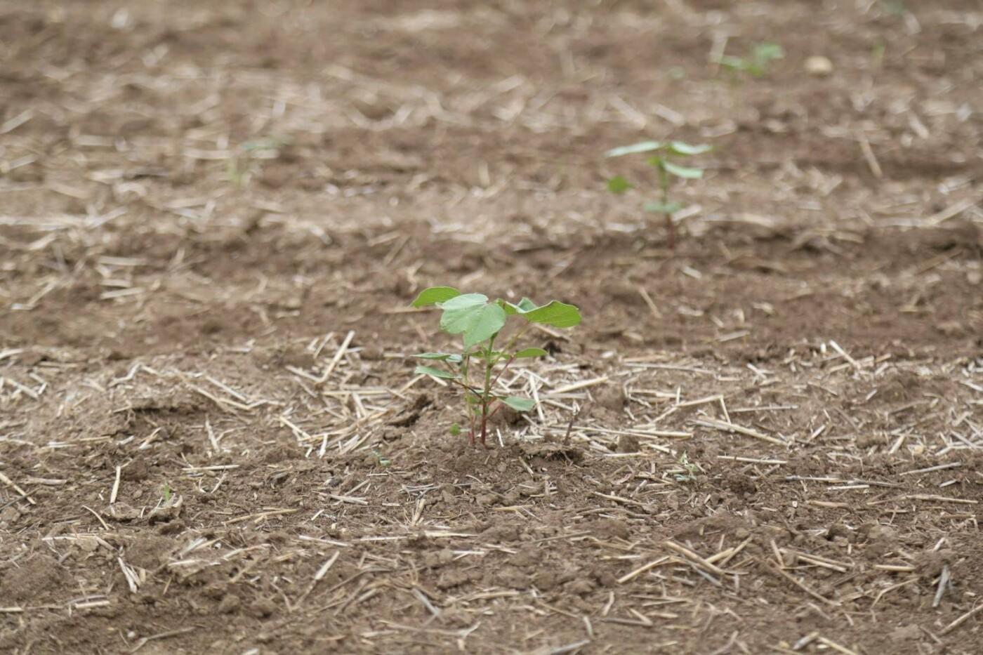 Из-за засухи в Крыму придумали пшеницу, которая растет без воды (ФОТО), фото-5