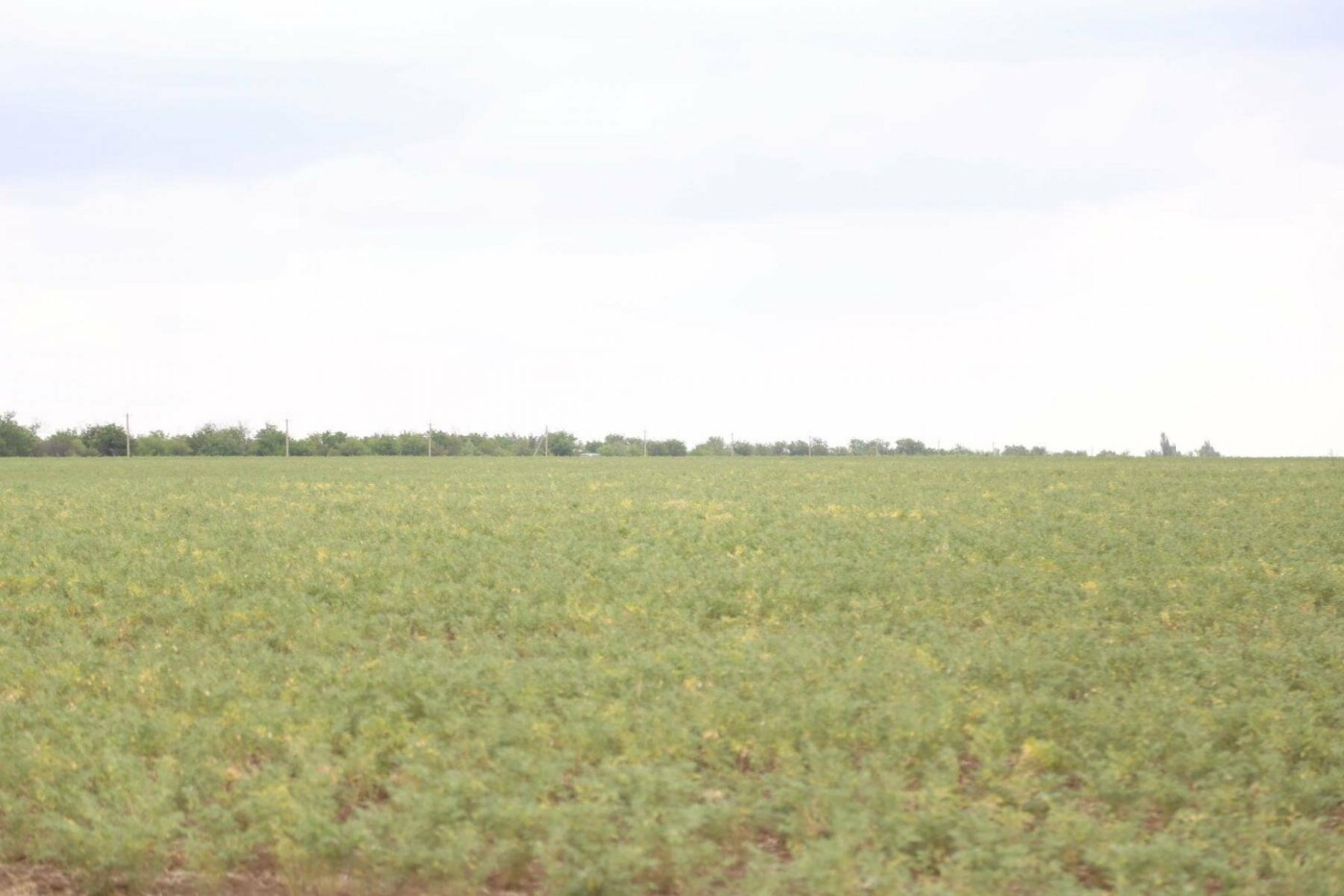 Из-за засухи в Крыму придумали пшеницу, которая растет без воды (ФОТО), фото-3