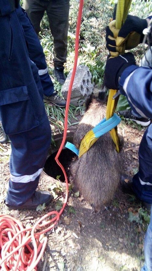 В Крыму спасли кабана, провалившегося в люк, - ФОТО, фото-2